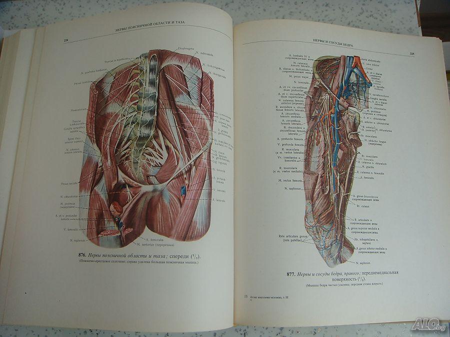 Анатомия человека картинки латынь